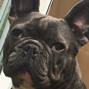 Boo the french bull dog