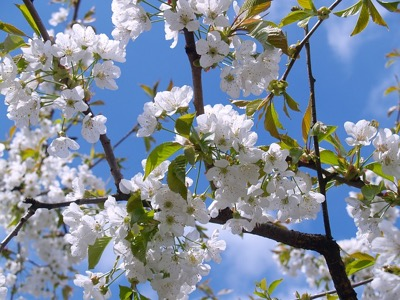 cherry blossom, spring featured