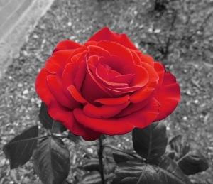 garden-rose-320623_640