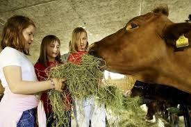 children feeding cow at farm